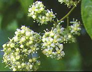 Triptolide plant