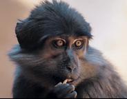 Yerkes primate